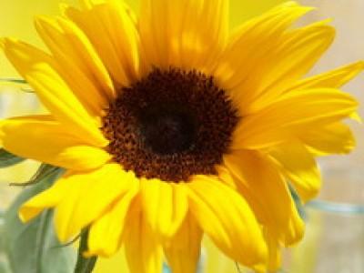 Sonnenblume SUNSATION