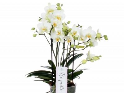 Luxus-Phalaenopsis BOQUETTO