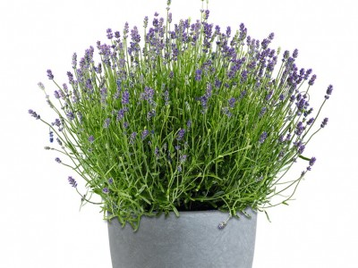 Provence Lavendel ESSENCE PURPLE® XL