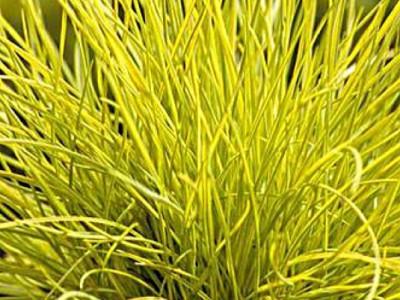 Goldschwingel Gras GOLDEN TOUPEE® XL