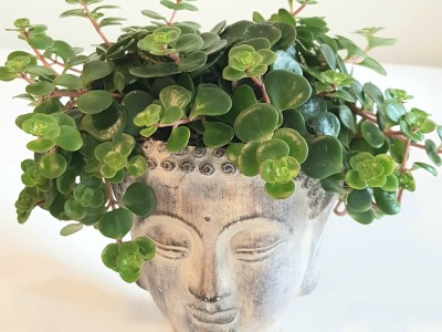 Buddhakopf bepflanzt
