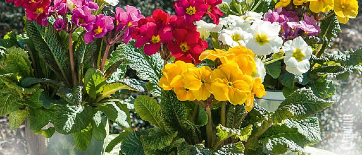 """Hoch hinaus: """"Spring Bouquet©""""-Stängelprimeln"""